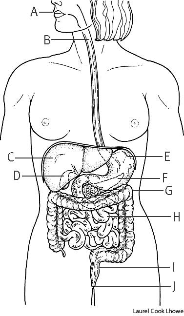 digestive system | define digestive system at dictionary, Human Body