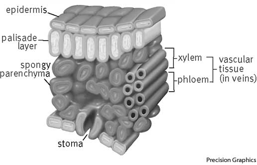vascular tissue definition Vascular plant vascular plants temporal range: middle silurian–holocene, 425 xylem and phloem tissues are involved in the conduction processes within plants.
