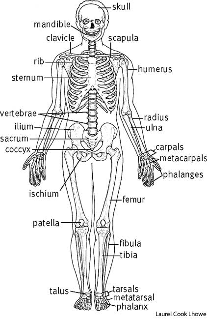 skeletal | define skeletal at dictionary, Human Body