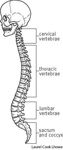vertebral column | define vertebral column at dictionary, Human Body